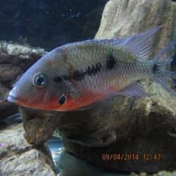 Firemouth  Cichlid  By Eric Price