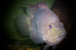 Texas Cichlid By Eric Price
