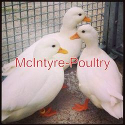 White Call Duck Breeding Set