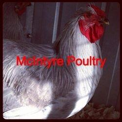 Lavender Wyandotte Rooster
