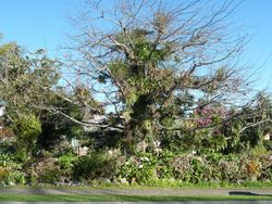 Epiphyte tree