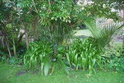 Subtropical plants