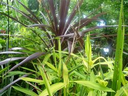 Bamboo and cordyline