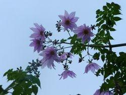 Tree dahlia