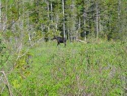 Saddleback moose