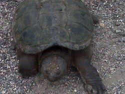 McAdam turtle