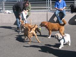 Amber at dog park