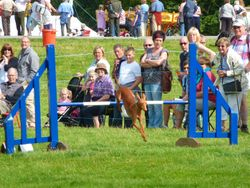 Luca taking a jump at Chatsworth House agility show Aug 2010