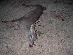 Travis deer