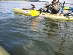 Landing a tog from the kayak