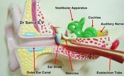 Ear Model