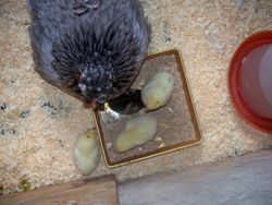broody hen and chicks