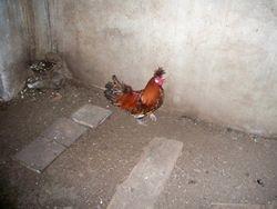 gold appenzeller rooster