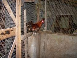 appenzeller rooster