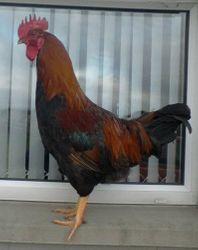 Young Welsummer rooster