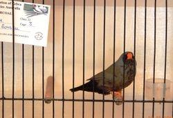 Charcoal AC Hen