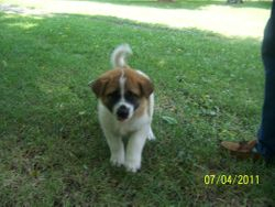 Koda at 6 weeks old.
