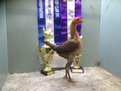 Black Red hen 1 2012