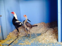 Silver Duckwing Hen 2014
