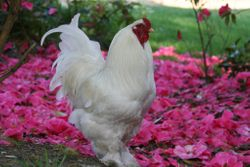 White Brahma Rooster