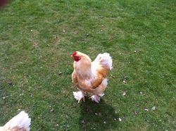Lemon Pyle Brahma Rooster