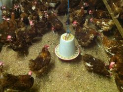 Happy Hens Singing Away in this pic