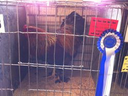 My Gold Brahma Rooster after Judging