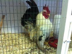 Columbian Serama Rooster