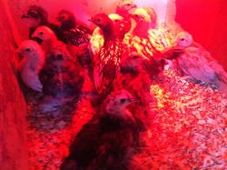 A batch of chicks soon to be off the heat