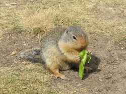 Ground squirrel with a pea pod