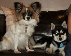 Sprite papillon and Diamond Klee Kai