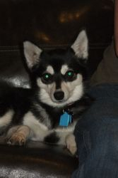 Diamond Klee Kai