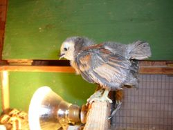 New Quail d'Anver chick