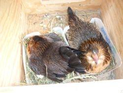 5/8/2012 2 Quail d'Anver hens seting