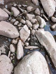 Lotsa water snakes