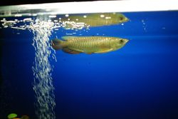 Arowana - Super High Back 8""