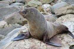 Seal (NZ fur seal)