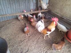 pile bantam cock and mixed hens