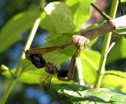 Munching Mantis