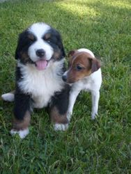 Bernese and Jack Russell