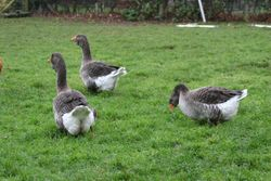 Exhibition Dewlap Toulouse Geese