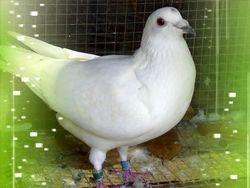 Luis Chiu (White) hen