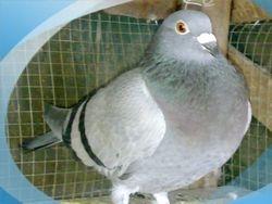 Vandenbroucke (Luis Chiu) hen