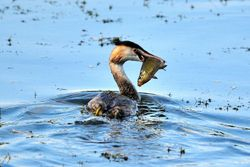 Great Creasted Grebe with Tench