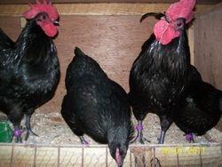 black australorps