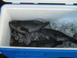 Block Island Sea Bass