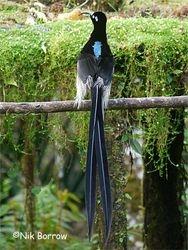 Longtail Sicklebill