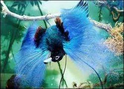 Feathery Bluebird of Paradise