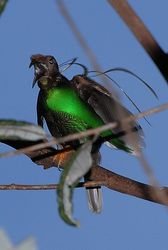 Green Standardwing Bird of Paradise