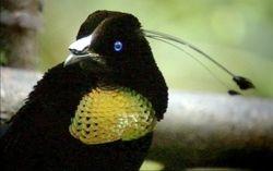 Parotia Bird of Paradise